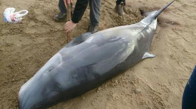 Stranded pygmy sperm whale at Newborough beach (picture A.Daniel)