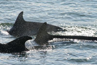 Bottlenose dolphins near Red Wharf Bay