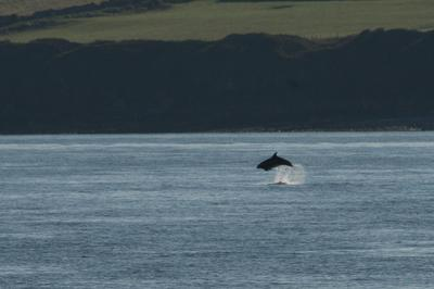 Leaping bottlenose dolphin off Anglesey