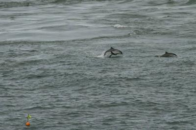 Leaping harbour porpoise at Point Lynas