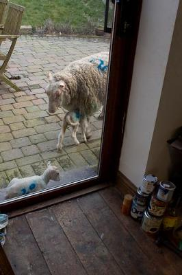 Lambs cuddling up on the outside step